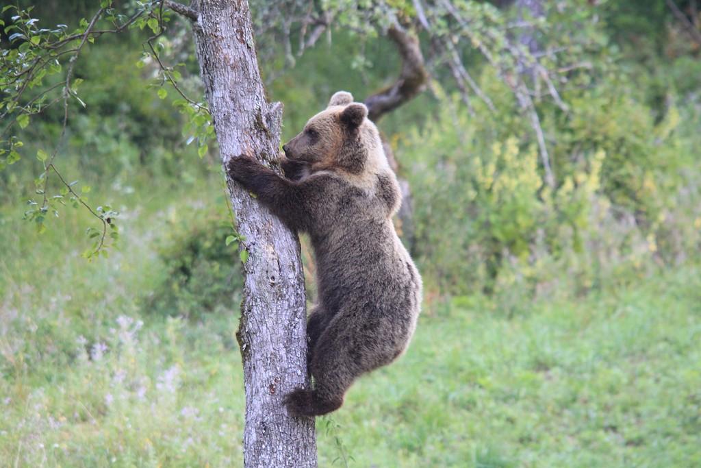IMG_3991 medved na drevesu